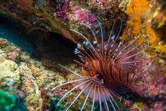 Zbliżenie Czerwona lew ryba Zdjęcie Royalty Free