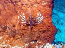 Zbliżenie Czerwona lew ryba, Komodo Fotografia Royalty Free