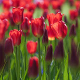 Zbliżenie czerwoni tulipanowi kwiaty Zdjęcie Royalty Free