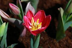 Zbli?enie, Czerwony tulipanowy kwiat kwitnie w ogr?dzie w ten spos?b bardzo pi?knym obraz royalty free