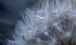 Zbliżenie dandelion fluff z kroplami Obrazy Royalty Free