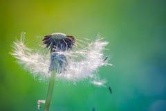 Zbliżenie dandelion na naturalnym tle Zdjęcia Royalty Free