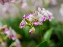 Zbliżenie Dendrobium Storczykowy kwiat Fotografia Royalty Free