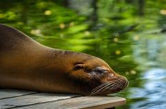 Zbliżenie dosypianie foka Zdjęcie Stock