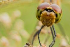 Zbliżenie dragonfly Zdjęcia Stock