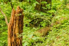 Zbliżenie drzewny fiszorek w lesie Zdjęcia Stock