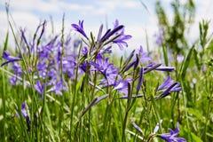 Zbli?enie dzicy purpurowi wildflowers za?wiecaj?cy ranku s?o?cem na zieleni zamazywa? t?o fotografia stock