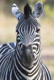 Zbliżenie dzika zebra Obraz Royalty Free