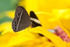 Zbliżenie egzotyczny motyli Caligo spp Zdjęcie Stock