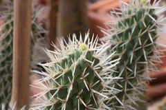 Zbli?enie elongated zielony kaktus z bia?ymi prickles obrazy royalty free