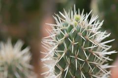 Zbli?enie elongated zielony kaktus z bia?ymi prickles obraz royalty free