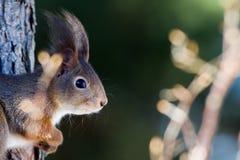 Czerwona wiewiórka w profilu (Sciurus vulgaris) Zdjęcie Stock