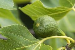 Zbliżenie figi figi drzewa zieleni figi Zdjęcia Royalty Free