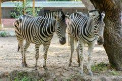 Zbliżenie fotografia dwa zebra Obrazy Royalty Free