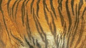 Zbliżenie fotografia tygrysia tekstura Zdjęcia Stock