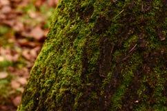 Zbliżenie fotografia zielony mech Zdjęcia Royalty Free