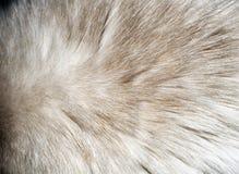 Zbliżenie futerkowa tekstura od kota ` s plecy Zdjęcie Royalty Free