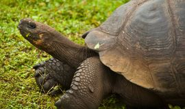 Zbliżenie Galapagos Tortoise na Santa Cruz wyspie Obraz Royalty Free