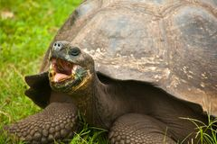 Zbliżenie Galapagos Tortoise na Santa Cruz wyspie Obrazy Royalty Free