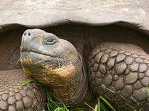 Zbliżenie Galapagos Tortoise na Santa Cruz wyspie Obrazy Stock