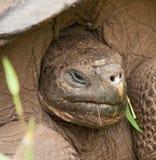 Zbliżenie Galapagos Tortoise na Santa Cruz wyspie Zdjęcie Royalty Free