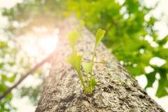 Zbliżenie ginkgo opuszcza na ginkgo drzewie w ranku Fotografia Royalty Free