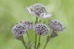 Zbliżenie greatmaster lub Astrantia kwiat Fotografia Royalty Free