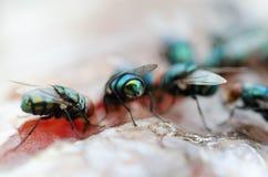 zbliżenie grupy komarnica je Wysuszonej ryba Obraz Stock