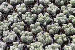 Zbliżenie kaktusowy garnek Zdjęcia Stock