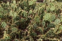 Zbliżenie kaktusowy opuntia paraguayensis Obraz Stock