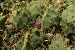Zbliżenie kaktusowy opuntia paraguayensis Zdjęcia Royalty Free