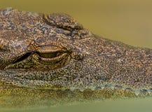 zbliżenie krokodyl Fotografia Stock