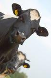 zbliżenie krowa dwa Obrazy Stock