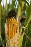 zbliżenie kukurydza Zdjęcie Royalty Free