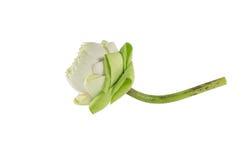 Zbliżenie kwiatu lotos Fotografia Stock