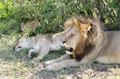 Zbliżenie lew ralaxing lwica i Fotografia Stock