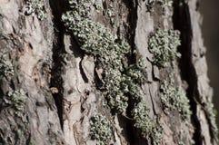 Zbliżenie liszaj na drzewie Obraz Royalty Free