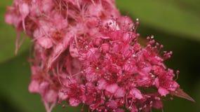 Zbliżenie menchii kwiat obrazy royalty free