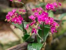 Zbliżenie Mini Phalaenopsis Storczykowy kwiat Obraz Royalty Free