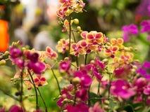 Zbliżenie Mini Phalaenopsis Storczykowy kwiat Zdjęcie Stock