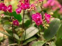 Zbliżenie Mini Phalaenopsis Storczykowy kwiat Obrazy Royalty Free