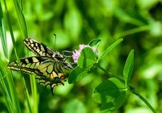 Zbliżenie motyl na kwiacie, motyl i kwiat, motyl na kwiatu rozmytym tle Fotografia Royalty Free