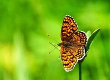 Zbliżenie motyl na kwiacie, motyl i kwiat, motyl na kwiatu rozmytym tle Zdjęcia Stock