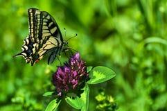 Zbliżenie motyl na kwiacie, motyl i kwiat, motyl na kwiatu rozmytym tle Zdjęcia Royalty Free