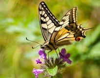 Zbliżenie motyl na kwiacie, motyl i kwiat, motyl na kwiatu rozmytym tle Zdjęcie Stock