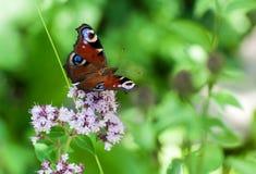 Zbliżenie motyl na kwiacie, motyl i kwiat, motyl na kwiatu rozmytym tle Obraz Royalty Free