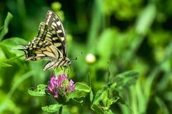 Zbliżenie motyl na kwiacie, motyl i kwiat, motyl na kwiatu rozmytym tle, motyl na kwiacie Obrazy Royalty Free