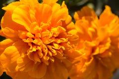 Zbliżenie nagietków kwiaty Zdjęcia Stock