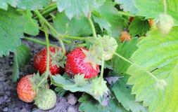 Zbliżenie naturalny truskawkowy krzak w ogródzie Obrazy Royalty Free