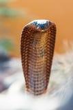 Zbliżenie Niebezpieczna kobra Fotografia Stock